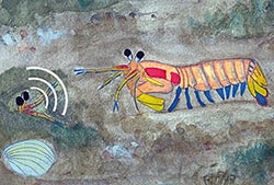 California Mantis Shrimp, water color by Erica Staaterman